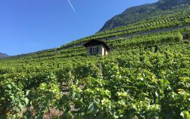 Vaud Chablais Été Yvorne capite