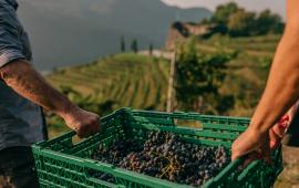 vendanges-weinlese-tessin-ticino