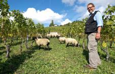 Lavaux, Moutons
