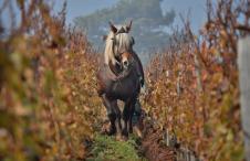 Swiss Wine Pferde im Weinberge