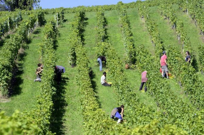 Swisswine Vaud La Cote Vendanges Harvest