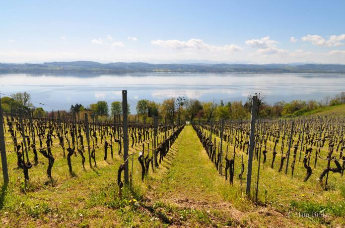vully, vignoble, swiss wine